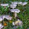 Baltikas | Tricholoma sp. | Fotografijos autorius : Darius Baužys | © Macrogamta.lt | Šis tinklapis priklauso bendruomenei kuri domisi makro fotografija ir fotografuoja gyvąjį makro pasaulį.