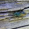 Auksavapsvė - Chrysis sp. | Fotografijos autorius : Agnė Kulpytė | © Macrogamta.lt | Šis tinklapis priklauso bendruomenei kuri domisi makro fotografija ir fotografuoja gyvąjį makro pasaulį.