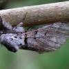 Balsvasis dviuodegis - Furcula bifida | Fotografijos autorius : Romas Ferenca | © Macrogamta.lt | Šis tinklapis priklauso bendruomenei kuri domisi makro fotografija ir fotografuoja gyvąjį makro pasaulį.