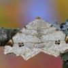 Balsvasis miškasprindis - Macaria notata   Fotografijos autorius : Arūnas Eismantas   © Macrogamta.lt   Šis tinklapis priklauso bendruomenei kuri domisi makro fotografija ir fotografuoja gyvąjį makro pasaulį.