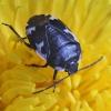 Baltadėmė urvablakė - Tritomegas bicolor | Fotografijos autorius : Vytautas Gluoksnis | © Macrogamta.lt | Šis tinklapis priklauso bendruomenei kuri domisi makro fotografija ir fotografuoja gyvąjį makro pasaulį.