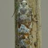 Baltasparnė epinocija - Epinotia pygmaeana   Fotografijos autorius : Arūnas Eismantas   © Macrogamta.lt   Šis tinklapis priklauso bendruomenei kuri domisi makro fotografija ir fotografuoja gyvąjį makro pasaulį.