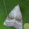 Baltoji nolija - Meganola albula | Fotografijos autorius : Gintautas Steiblys | © Macrogamta.lt | Šis tinklapis priklauso bendruomenei kuri domisi makro fotografija ir fotografuoja gyvąjį makro pasaulį.