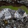 Beržinis dviuodegis - Furcula bicuspis | Fotografijos autorius : Žilvinas Pūtys | © Macrogamta.lt | Šis tinklapis priklauso bendruomenei kuri domisi makro fotografija ir fotografuoja gyvąjį makro pasaulį.