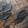 Biscogniauxia repanda (?) | Fotografijos autorius : Aleksandras Stabrauskas | © Macrogamta.lt | Šis tinklapis priklauso bendruomenei kuri domisi makro fotografija ir fotografuoja gyvąjį makro pasaulį.