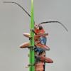 Minkštavabalis - Cantharis pellucida | Fotografijos autorius : Gintautas Steiblys | © Macrogamta.lt | Šis tinklapis priklauso bendruomenei kuri domisi makro fotografija ir fotografuoja gyvąjį makro pasaulį.