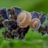 Alksni̇nis kielikiukas - Ciboria amentacea | Fotografijos autorius : Eglė Vičiuvienė | © Macrogamta.lt | Šis tinklapis priklauso bendruomenei kuri domisi makro fotografija ir fotografuoja gyvąjį makro pasaulį.
