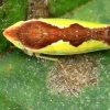 Cikadėlė - Platymetopius undatus | Fotografijos autorius : Ramunė Vakarė | © Macrogamta.lt | Šis tinklapis priklauso bendruomenei kuri domisi makro fotografija ir fotografuoja gyvąjį makro pasaulį.