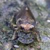 Cikadėlė- Ledra aurita | Fotografijos autorius : Romas Ferenca | © Macrogamta.lt | Šis tinklapis priklauso bendruomenei kuri domisi makro fotografija ir fotografuoja gyvąjį makro pasaulį.