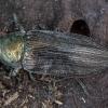 Dėmėtapilvis blizgiavabalis - Buprestis haemorrhoidalis | Fotografijos autorius : Žilvinas Pūtys | © Macrogamta.lt | Šis tinklapis priklauso bendruomenei kuri domisi makro fotografija ir fotografuoja gyvąjį makro pasaulį.