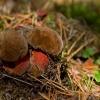 Dėmėtasis baravykas - Neoboletus luridiformis | Fotografijos autorius : Zita Gasiūnaitė | © Macrogamta.lt | Šis tinklapis priklauso bendruomenei kuri domisi makro fotografija ir fotografuoja gyvąjį makro pasaulį.