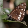 Danaja - Euploea core corinna | Fotografijos autorius : Žilvinas Pūtys | © Macrogamta.lt | Šis tinklapis priklauso bendruomenei kuri domisi makro fotografija ir fotografuoja gyvąjį makro pasaulį.