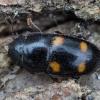 Daržinis žvilgvabalis - Glischrochilus hortensis | Fotografijos autorius : Žilvinas Pūtys | © Macrogamta.lt | Šis tinklapis priklauso bendruomenei kuri domisi makro fotografija ir fotografuoja gyvąjį makro pasaulį.