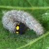 Dedešvinė hesperija - Carcharodus alceae, vikšras | Fotografijos autorius : Vaida Paznekaitė | © Macrogamta.lt | Šis tinklapis priklauso bendruomenei kuri domisi makro fotografija ir fotografuoja gyvąjį makro pasaulį.