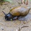 Didžioji gintarė | Amber snail | Succinea putris | Fotografijos autorius : Darius Baužys | © Macrogamta.lt | Šis tinklapis priklauso bendruomenei kuri domisi makro fotografija ir fotografuoja gyvąjį makro pasaulį.