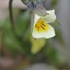 Dirvinė našlaitė - Viola arvensis | Fotografijos autorius : Gintautas Steiblys | © Macrogamta.lt | Šis tinklapis priklauso bendruomenei kuri domisi makro fotografija ir fotografuoja gyvąjį makro pasaulį.