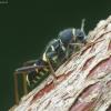 Drebulinis raštenis - Clytus arietis | Fotografijos autorius : Vidas Brazauskas | © Macrogamta.lt | Šis tinklapis priklauso bendruomenei kuri domisi makro fotografija ir fotografuoja gyvąjį makro pasaulį.