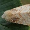 Dvinulis pelėdgalvis - Dicycla oo | Fotografijos autorius : Gintautas Steiblys | © Macrogamta.lt | Šis tinklapis priklauso bendruomenei kuri domisi makro fotografija ir fotografuoja gyvąjį makro pasaulį.