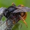 Dvispalvė osmija - Osmia bicolor ♀ | Fotografijos autorius : Žilvinas Pūtys | © Macrogamta.lt | Šis tinklapis priklauso bendruomenei kuri domisi makro fotografija ir fotografuoja gyvąjį makro pasaulį.