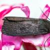 Tamsusis pelėdgalvis - Amphipyra livida | Fotografijos autorius : Virginijus Jaseliunas | © Macrogamta.lt | Šis tinklapis priklauso bendruomenei kuri domisi makro fotografija ir fotografuoja gyvąjį makro pasaulį.
