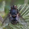 Dygliamusė - Blepharipa pratensis ♀ | Fotografijos autorius : Žilvinas Pūtys | © Macrogamta.lt | Šis tinklapis priklauso bendruomenei kuri domisi makro fotografija ir fotografuoja gyvąjį makro pasaulį.