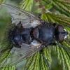 Dygliamusė - Ernestia puparum ♂ | Fotografijos autorius : Žilvinas Pūtys | © Macrogamta.lt | Šis tinklapis priklauso bendruomenei kuri domisi makro fotografija ir fotografuoja gyvąjį makro pasaulį.