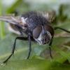 Dygliamusė - Panzeria puparum ♂ | Fotografijos autorius : Žilvinas Pūtys | © Macrogamta.lt | Šis tinklapis priklauso bendruomenei kuri domisi makro fotografija ir fotografuoja gyvąjį makro pasaulį.