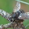 Dygliamusė - Panzeria puparum   Fotografijos autorius : Gintautas Steiblys   © Macrogamta.lt   Šis tinklapis priklauso bendruomenei kuri domisi makro fotografija ir fotografuoja gyvąjį makro pasaulį.