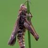 Entomophaga grylli | Fotografijos autorius : Zita Gasiūnaitė | © Macrogamta.lt | Šis tinklapis priklauso bendruomenei kuri domisi makro fotografija ir fotografuoja gyvąjį makro pasaulį.