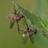 Entomophthora muscae | Fotografijos autorius : Zita Gasiūnaitė | © Macrogamta.lt | Šis tinklapis priklauso bendruomenei kuri domisi makro fotografija ir fotografuoja gyvąjį makro pasaulį.