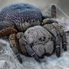 Eresus kollari ♀ | Fotografijos autorius : Armen Seropian | © Macrogamta.lt | Šis tinklapis priklauso bendruomenei kuri domisi makro fotografija ir fotografuoja gyvąjį makro pasaulį.