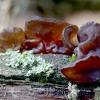 Drebutis - Exidia recisa | Fotografijos autorius : Romas Ferenca | © Macrogamta.lt | Šis tinklapis priklauso bendruomenei kuri domisi makro fotografija ir fotografuoja gyvąjį makro pasaulį.