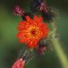 Auksuotoji vanagė – Hieracium aurantiacum | Fotografijos autorius : Gintautas Steiblys | © Macrogamta.lt | Šis tinklapis priklauso bendruomenei kuri domisi makro fotografija ir fotografuoja gyvąjį makro pasaulį.