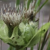 Gelsvalapė usnis - Cirsium oleraceum | Fotografijos autorius : Vytautas Gluoksnis | © Macrogamta.lt | Šis tinklapis priklauso bendruomenei kuri domisi makro fotografija ir fotografuoja gyvąjį makro pasaulį.