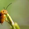 Geltonasis dulkiagraužis - Cteniopus sulphureus | Fotografijos autorius : Žygimantas Obelevičius | © Macrogamta.lt | Šis tinklapis priklauso bendruomenei kuri domisi makro fotografija ir fotografuoja gyvąjį makro pasaulį.