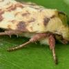 Geltonasis vėlyvis - Xanthia icteritia | Fotografijos autorius : Žilvinas Pūtys | © Macrogamta.lt | Šis tinklapis priklauso bendruomenei kuri domisi makro fotografija ir fotografuoja gyvąjį makro pasaulį.