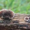 Eglinis tinklūnas - Gloeophyllum abietinum  | Fotografijos autorius : Vytautas Gluoksnis | © Macrogamta.lt | Šis tinklapis priklauso bendruomenei kuri domisi makro fotografija ir fotografuoja gyvąjį makro pasaulį.