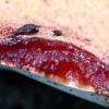 Ąžuolinė kepena - Fistulina hepatica | Fotografijos autorius : Romas Ferenca | © Macrogamta.lt | Šis tinklapis priklauso bendruomenei kuri domisi makro fotografija ir fotografuoja gyvąjį makro pasaulį.