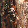 Phleogena faginea | Fotografijos autorius : Vytautas Tamutis | © Macrogamta.lt | Šis tinklapis priklauso bendruomenei kuri domisi makro fotografija ir fotografuoja gyvąjį makro pasaulį.