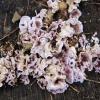 Purpurinė plutpintė - Chondrostereum purpureum | Fotografijos autorius : Ramunė Vakarė | © Macrogamta.lt | Šis tinklapis priklauso bendruomenei kuri domisi makro fotografija ir fotografuoja gyvąjį makro pasaulį.