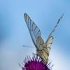 Gudobelinis baltukas - Aporia crataegi | Fotografijos autorius : Zita Gasiūnaitė | © Macrogamta.lt | Šis tinklapis priklauso bendruomenei kuri domisi makro fotografija ir fotografuoja gyvąjį makro pasaulį.