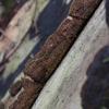 Tabakinis šiurkštenis - Hydnoporia tabacina | Fotografijos autorius : Vytautas Gluoksnis | © Macrogamta.lt | Šis tinklapis priklauso bendruomenei kuri domisi makro fotografija ir fotografuoja gyvąjį makro pasaulį.