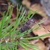 Ilgaūsis pušiagraužis - Acanthocinus aedilis | Fotografijos autorius : Romas Ferenca | © Macrogamta.lt | Šis tinklapis priklauso bendruomenei kuri domisi makro fotografija ir fotografuoja gyvąjį makro pasaulį.