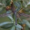 Ilgakojis uodas - Tipula coerulescens ♂ | Fotografijos autorius : Žilvinas Pūtys | © Macrogamta.lt | Šis tinklapis priklauso bendruomenei kuri domisi makro fotografija ir fotografuoja gyvąjį makro pasaulį.