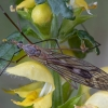 Ilgakojis uodas - Tipula nubeculosa ♂ | Fotografijos autorius : Žilvinas Pūtys | © Macrogamta.lt | Šis tinklapis priklauso bendruomenei kuri domisi makro fotografija ir fotografuoja gyvąjį makro pasaulį.