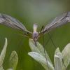 Ilgakojis uodas - Tipula tenuicornis ♂ | Fotografijos autorius : Žilvinas Pūtys | © Macrogamta.lt | Šis tinklapis priklauso bendruomenei kuri domisi makro fotografija ir fotografuoja gyvąjį makro pasaulį.