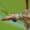 Pelkinis ilgakojis uodas - Tipula paludosa | Fotografijos autorius : Vidas Brazauskas | © Macrogamta.lt | Šis tinklapis priklauso bendruomenei kuri domisi makro fotografija ir fotografuoja gyvąjį makro pasaulį.