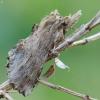 Ilganosis kuoduotis - Pterostoma palpina   Fotografijos autorius : Vidas Brazauskas   © Macrogamta.lt   Šis tinklapis priklauso bendruomenei kuri domisi makro fotografija ir fotografuoja gyvąjį makro pasaulį.