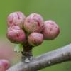 Japoninis svarainis   Maule's quince   Chaenomeles japonica   Fotografijos autorius : Darius Baužys   © Macrogamta.lt   Šis tinklapis priklauso bendruomenei kuri domisi makro fotografija ir fotografuoja gyvąjį makro pasaulį.