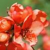 Japoninis svarainis - Chaenomeles japonica | Fotografijos autorius : Gintautas Steiblys | © Macrogamta.lt | Šis tinklapis priklauso bendruomenei kuri domisi makro fotografija ir fotografuoja gyvąjį makro pasaulį.